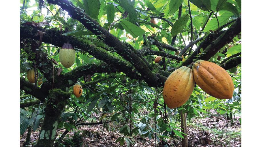 Estudiantes realizan gira academica a Finca Productora de Cacao